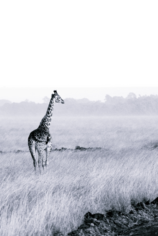 Giraffe staring out