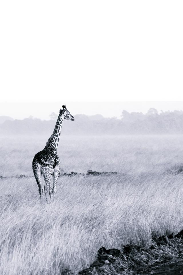 Giraffe staring out