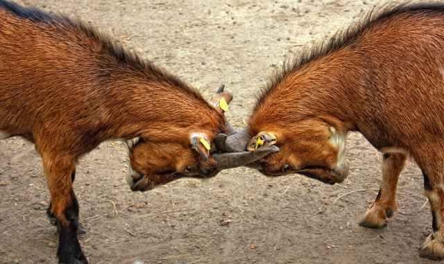 goats-animal-bock-billy-goat-67280.jpeg