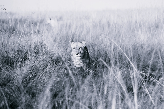 lioness in reeds